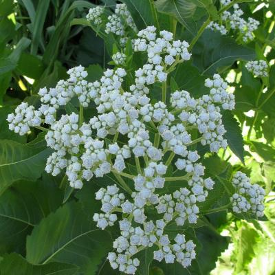 HERB * WILD QUININE * ORGANIC HEIRLOOM SEEDS 2021