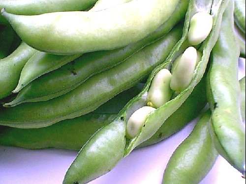 BEAN, FAVA * BROAD WINDSOR * ORGANIC HEIRLOOM SEEDS 2017