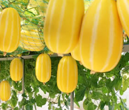 ASIAN * MELON THAI YELLOW SWEET * HEIRLOOM SEEDS 2018