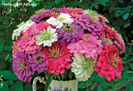 FLOWER ANNUAL * ZINNIA BENARY'S GIANT MIX * ORGANIC HEIRLOOM SEEDS 2018